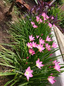 how to grow pink rain lily