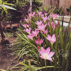 how to grow rain lily bulbs