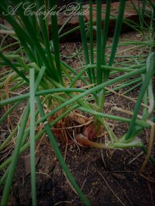 how to grow onion at home