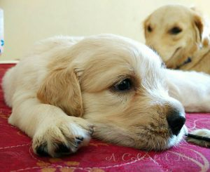 things to know about golden retriever puppies
