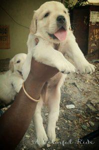 bathing golden retriever puppy