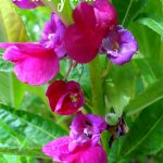 MESMERIZING HUES OF BALSAM FLOWER