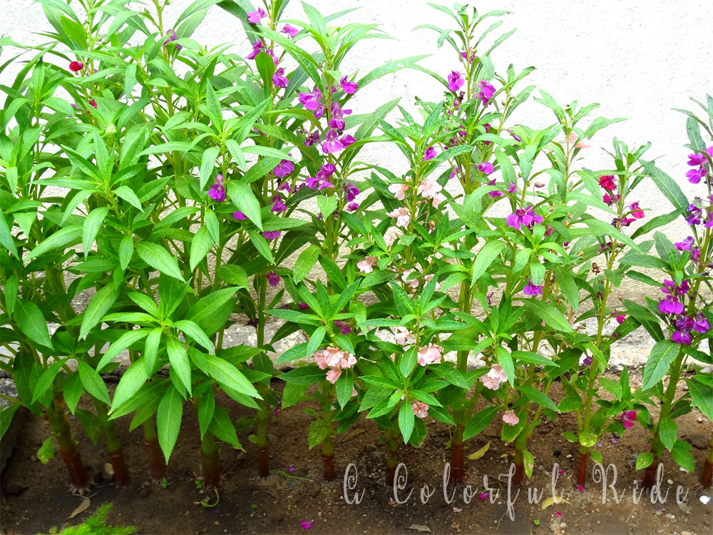how to grow balsam plant