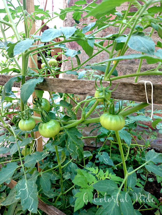 how to plant tomato at home
