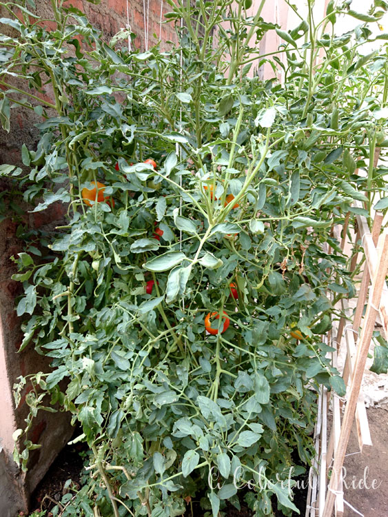 how to grow tomato at home