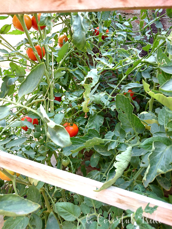 how to grow tomato plant