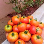 HOW TO GROW TOMATO PLANT FROM SEEDS
