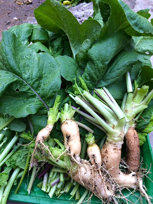 How to grow radish at home