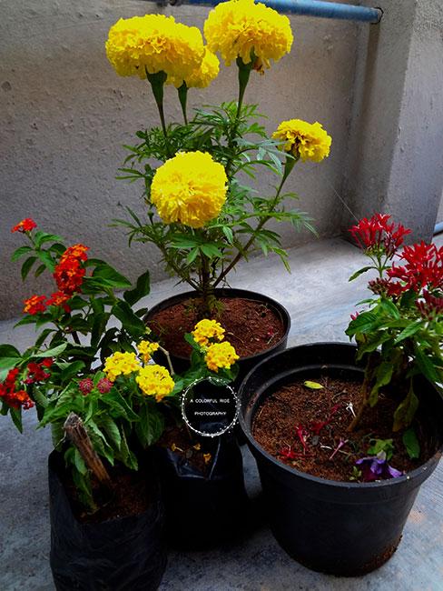 companion plants for okra