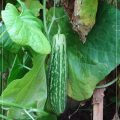GROWING CUCUMBER FROM SEEDS