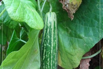 growing cucumber