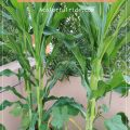 GROWING CORN IN GROW BAGS