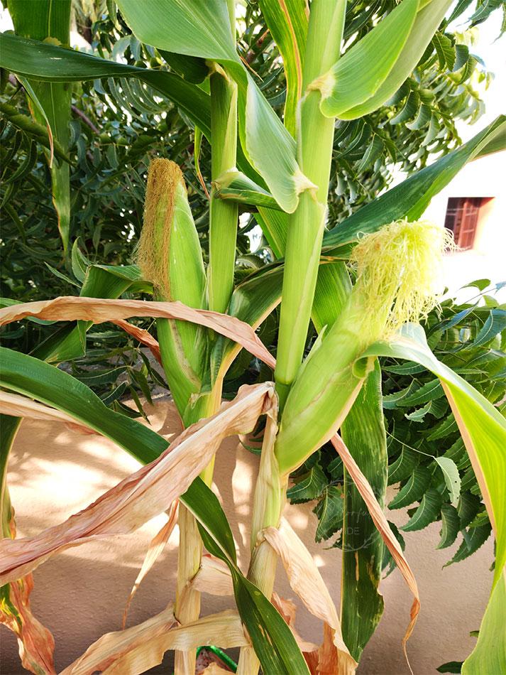 growing corn in India