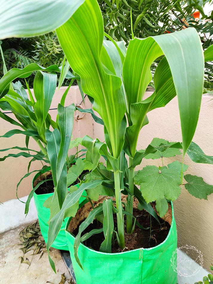 how to grow field corn