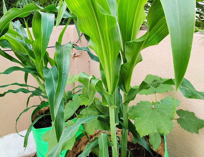 GROWING CORN IN GROW BAGS